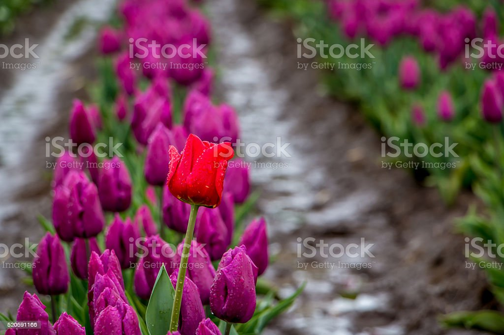 Closeup Single Red Tulip Field of Purple Spring Portland Oregon stock photo