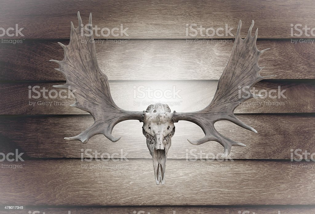 Closeup skull moose on wooden wall stock photo