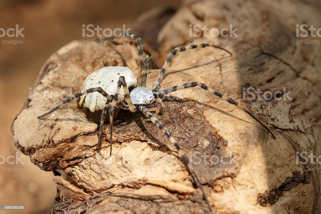 Closeup Spider-patisson (argiope lobata) sits on snag stock photo