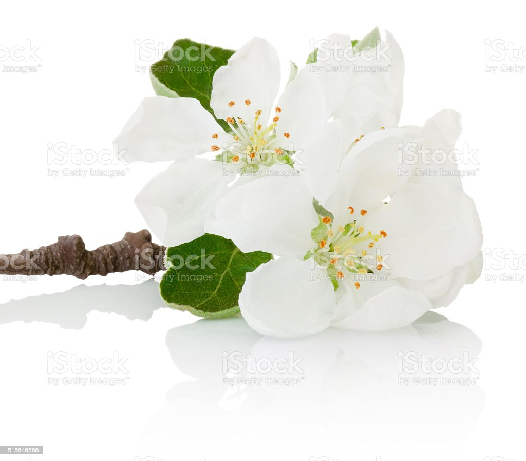 Close-up spring flowers of fruit tree isolated on white background stock photo