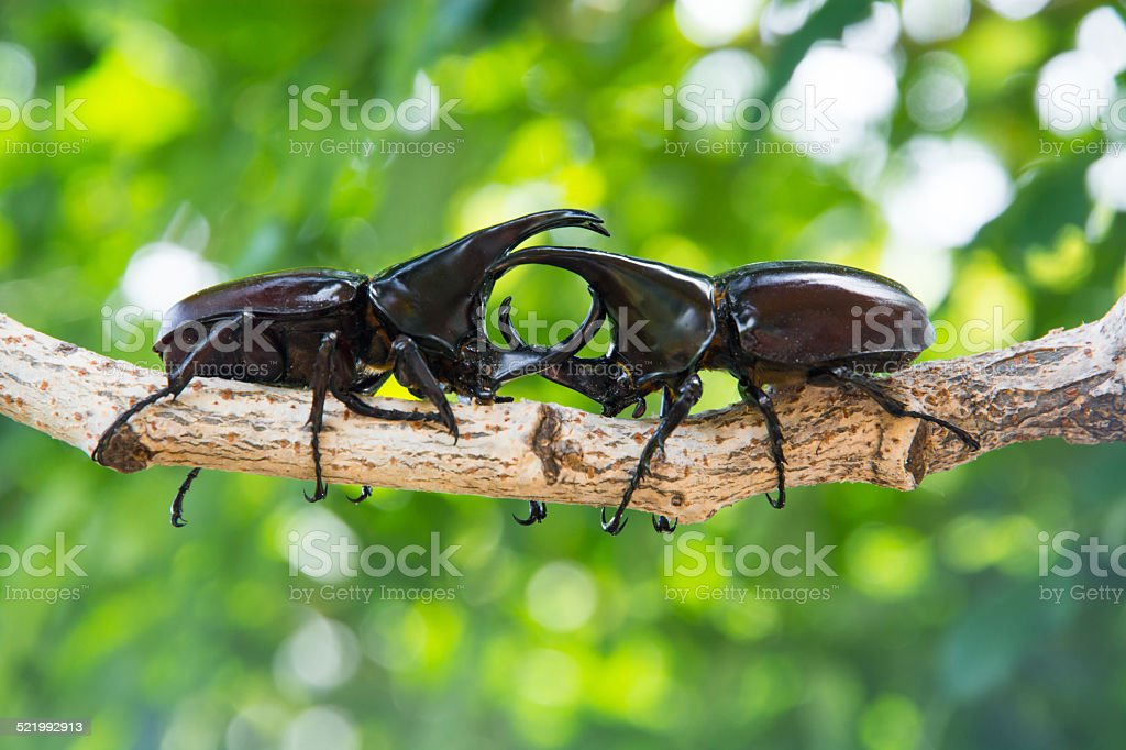 Closeup Stag beetle on tree stock photo