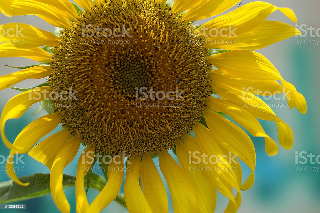 Closeup sunflowers in full bloom with bee stock photo