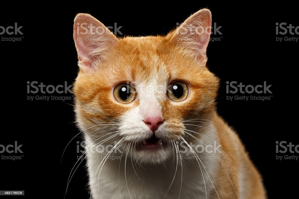 Closeup Surprised Ginger Cat with opened Mouth on Black stock photo