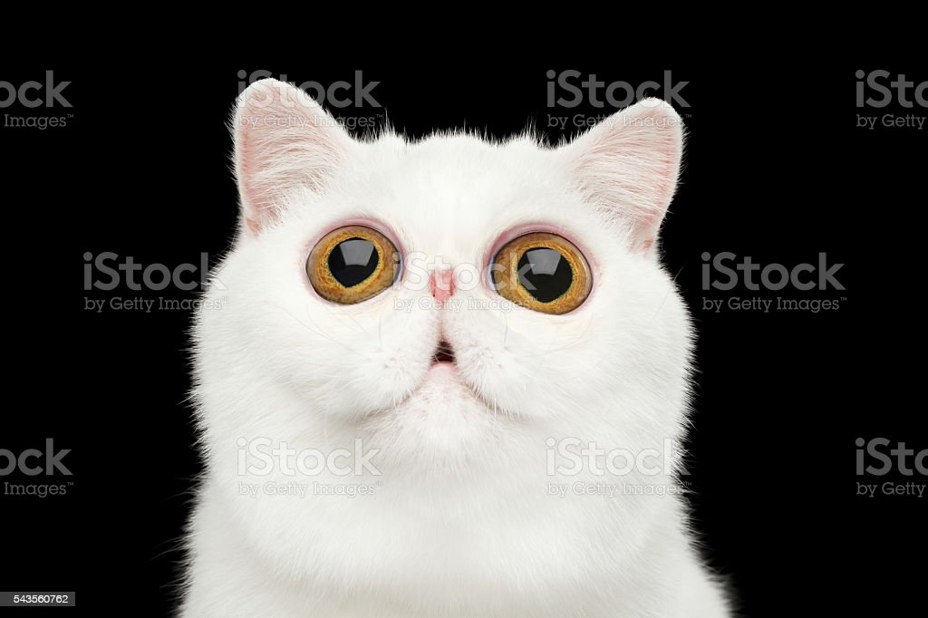 Close-up surprised Pure White Exotic Cat Head Isolated Black Background stock photo