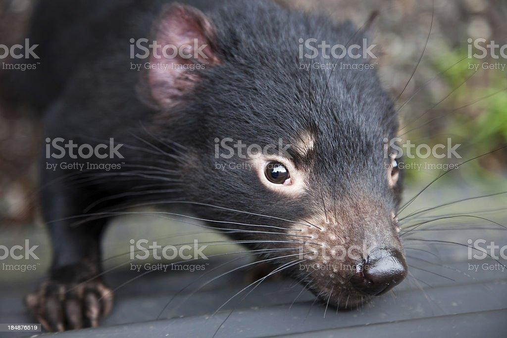 Closeup Tasmanian Devil stock photo