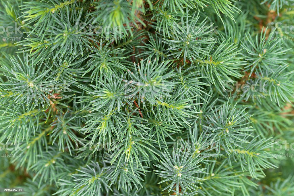 Closeup texture of young Dwarf Pine Tree leaves in green stock photo