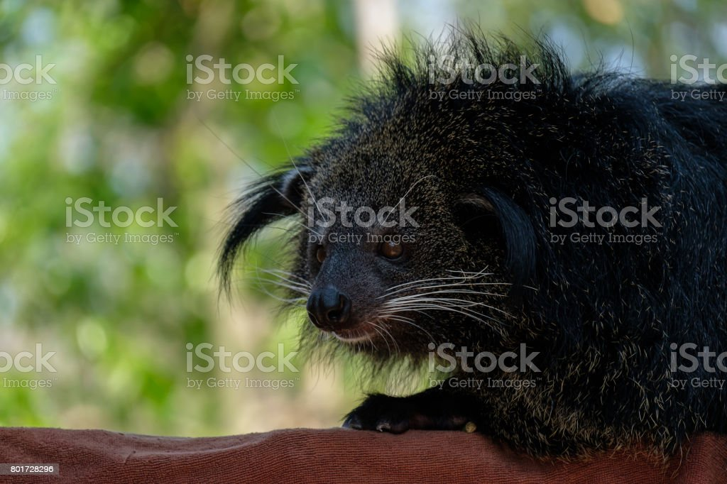 Closeup The binturong. stock photo