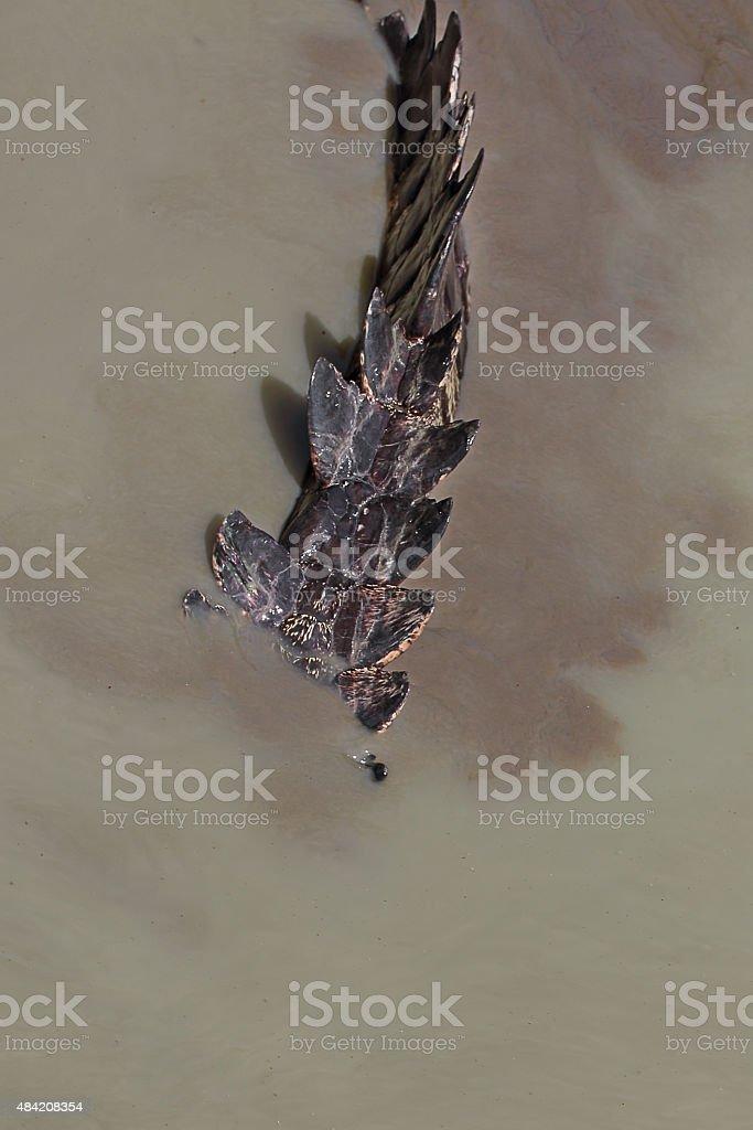 Closeup the tail of a crocodile stock photo