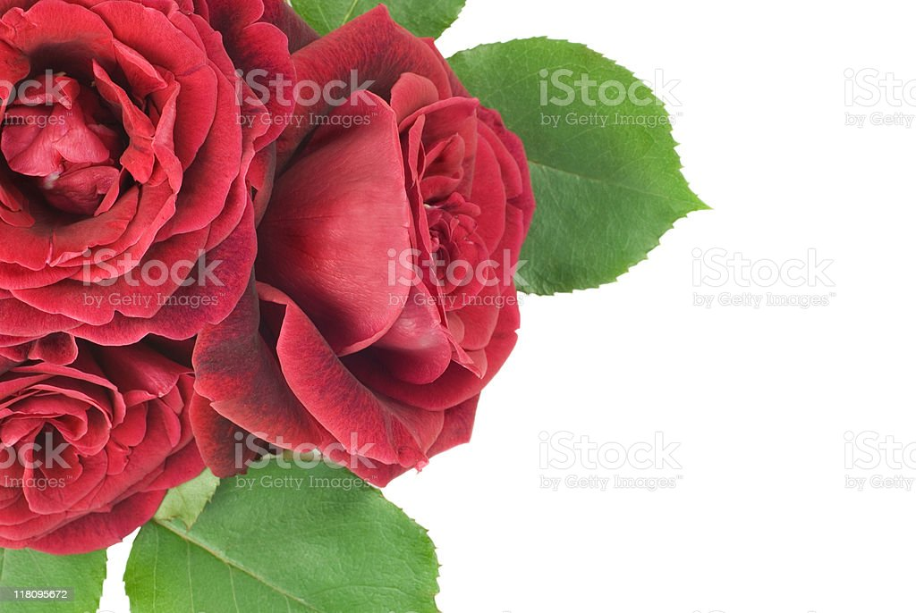Closeup Three Deep Red Roses stock photo
