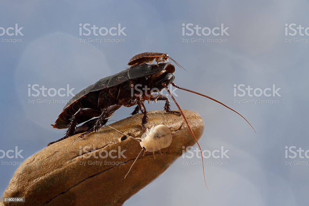 closeup three Madagascar cockroaches on a stone on blue background stock photo