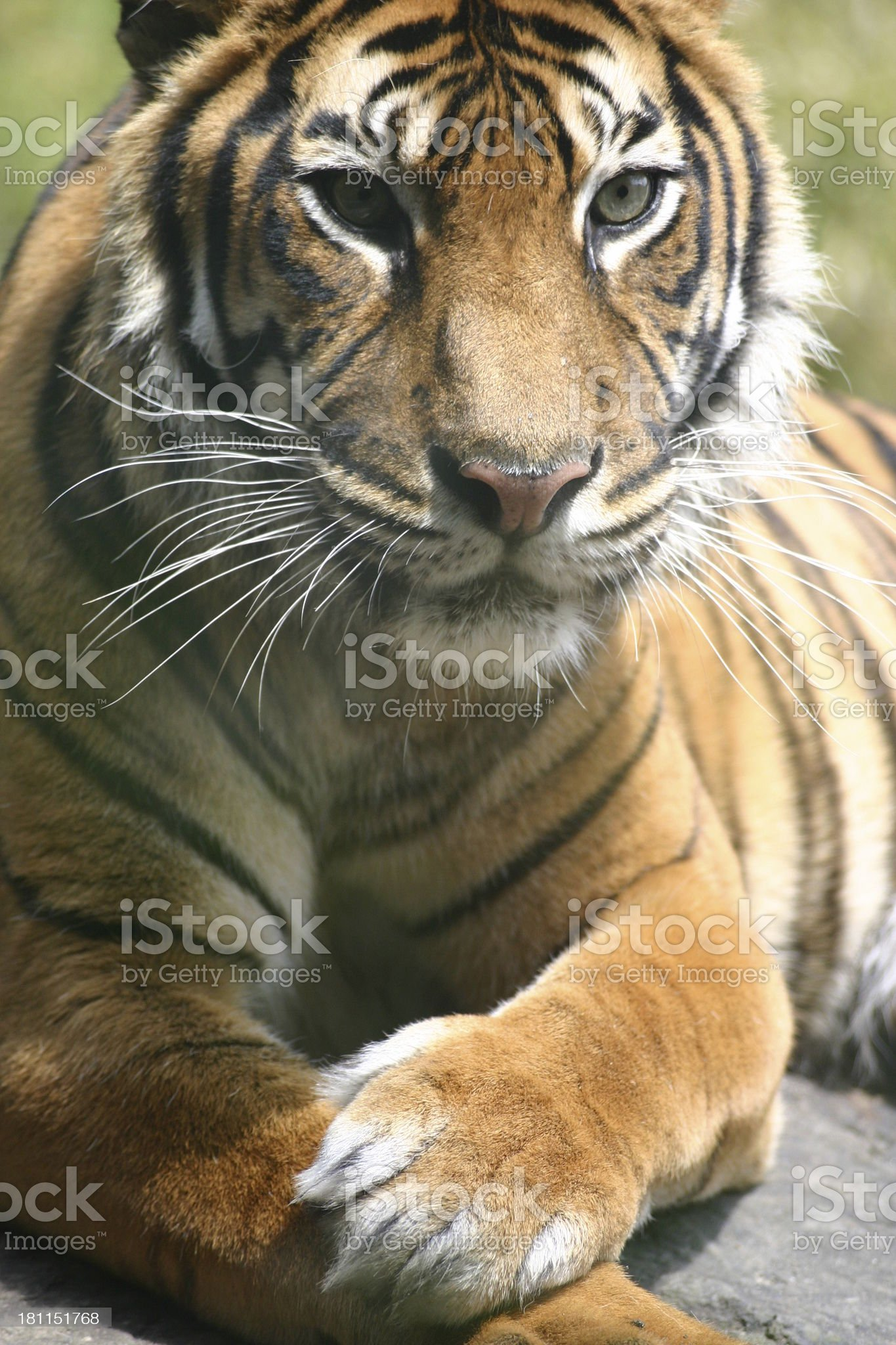 Closeup tiger II royalty-free stock photo