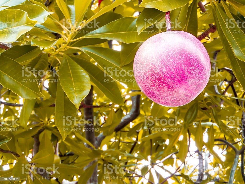 closeup to red suicide ball on suicide tree in nature stock photo