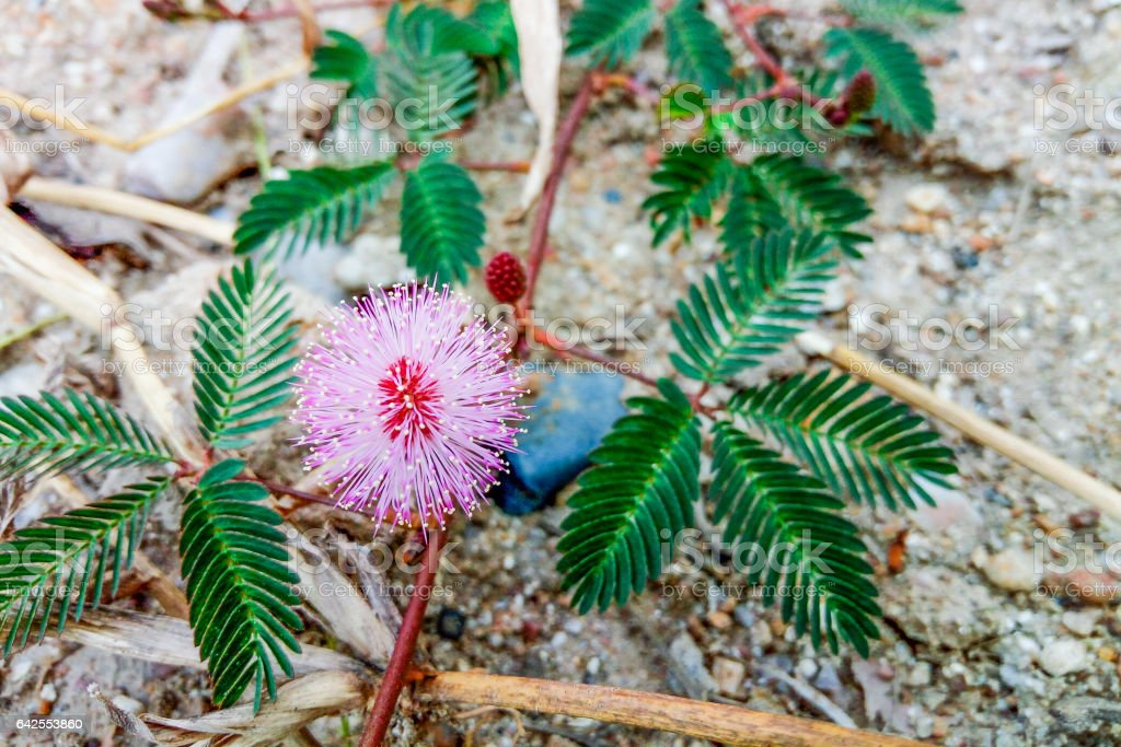 Closeup to Sensitive Plant Flower, Mimosa Pudica stock photo