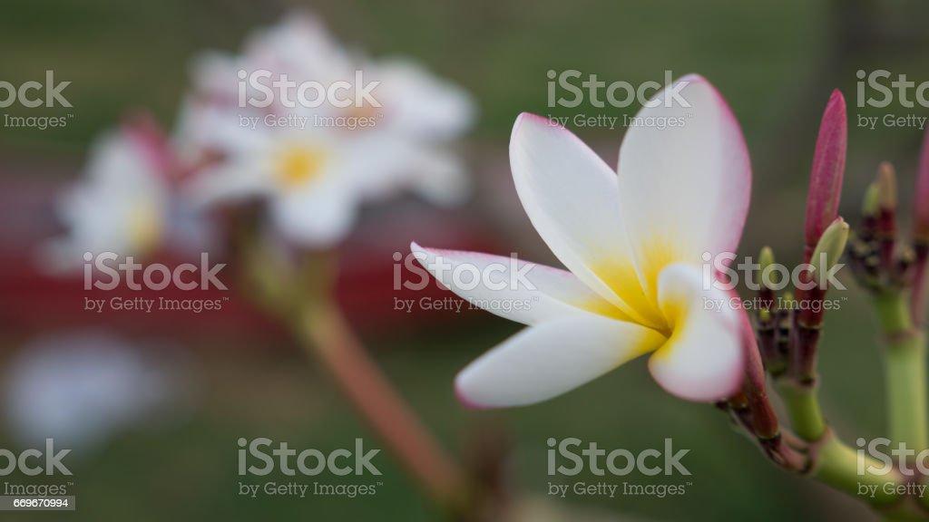 Close-up tropical  frangipani flower, plumeria flower stock photo