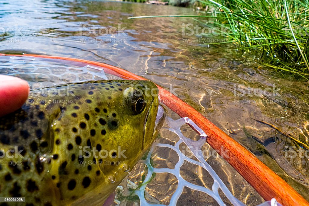 Closeup Trout Catch and Release stock photo