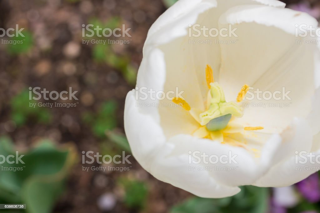 Close-up Tulip of anthers with pollen grains of white Tulip stock photo