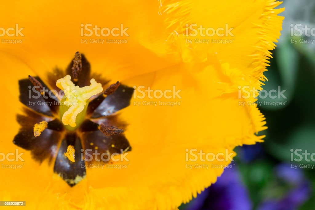 Close-up Tulip of anthers with pollen grains of yellow Tulip stock photo