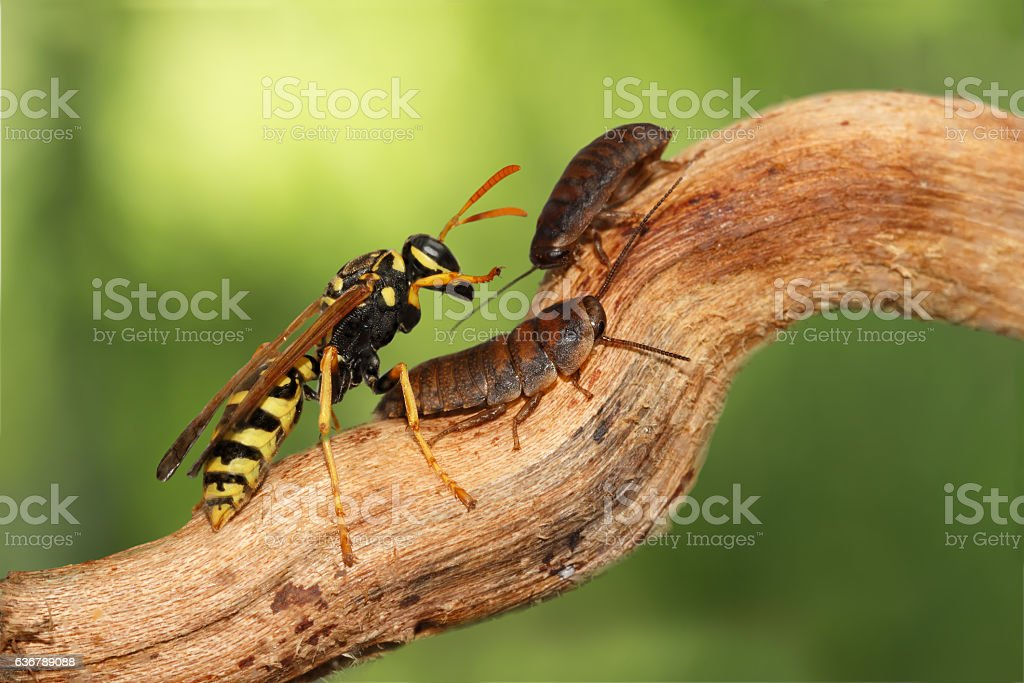 closeup two madagascar cockroaches  and wasp on branch. animal humor stock photo