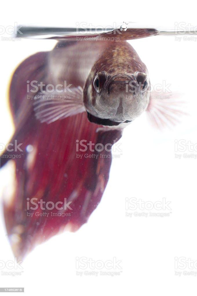 Close-up underwater view of tropical aquarium fish royalty-free stock photo