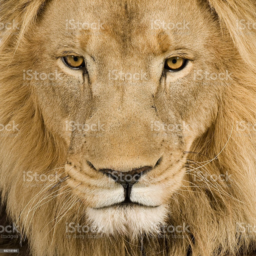 Close-up upfront face of a 4.5-year-old lion royalty-free stock photo