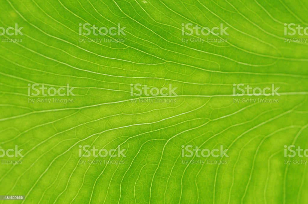 closeup vein line leaves texture background stock photo