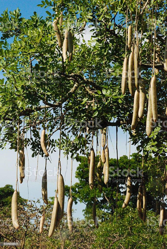Closeup Vertical of Sausage Tree Savanna Murchison Falls Park Uganda stock photo