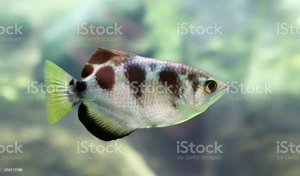 Close-up view of a Banded Archerfish stock photo