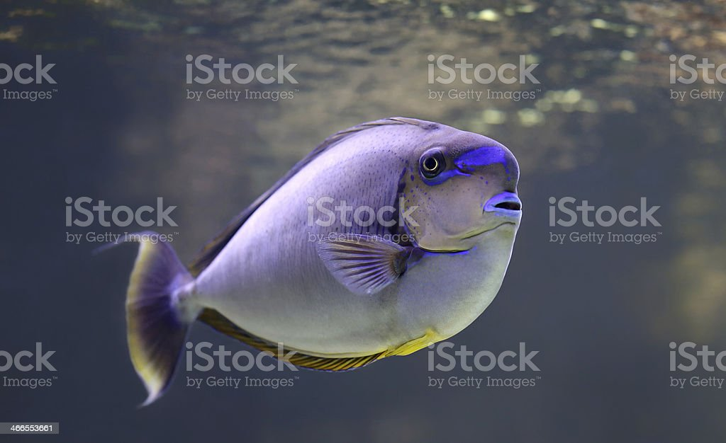 Close-up view of a bignose unicornfish stock photo