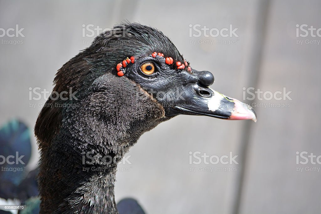 Closeup view of a black duck head with red points stock photo