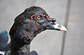 Closeup view of a black duck head with red points