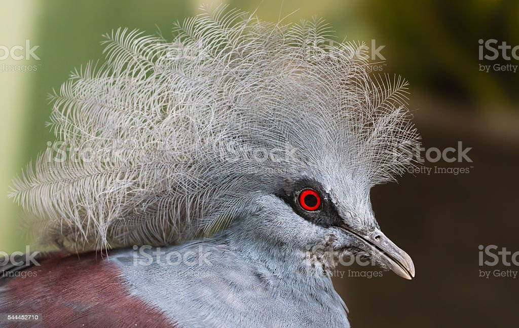 Close-up view of a Blue Crowned Pigeon stock photo