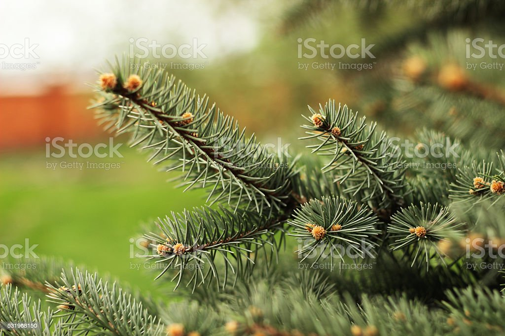 Closeup view of a bright green spruce tree branches royalty-free stock photo