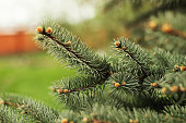 Closeup view of a bright green spruce tree branches