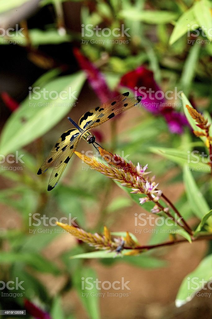 Closeup view of a Dragonfly -Sympetrum stock photo