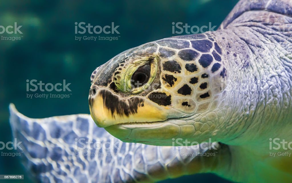 Close-up view of a Green Sea turtle stock photo