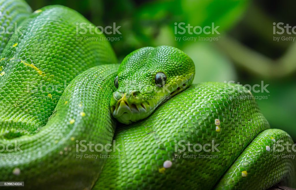 Close-up view of a green tree python stock photo