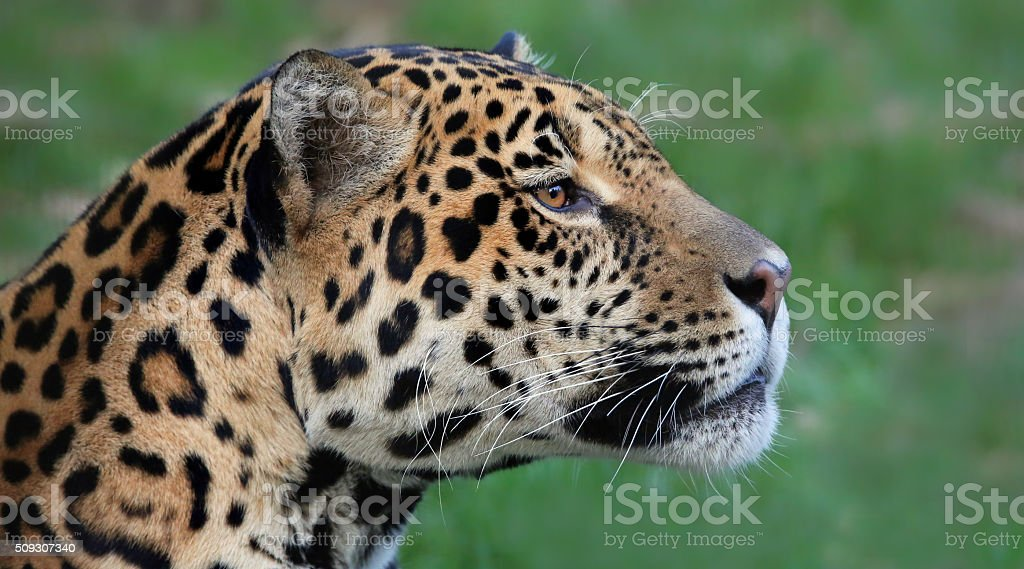 Close-up view of a Jaguar (Panthera onca) stock photo