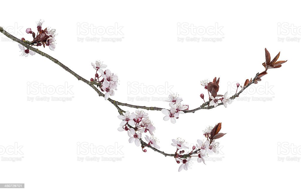 Close-up view of a Japanese Cherry branch royalty-free stock photo