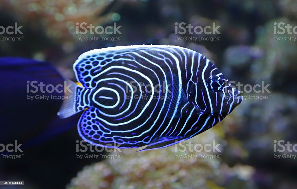 Close-up view of a Juvenile Emperor angelfish stock photo