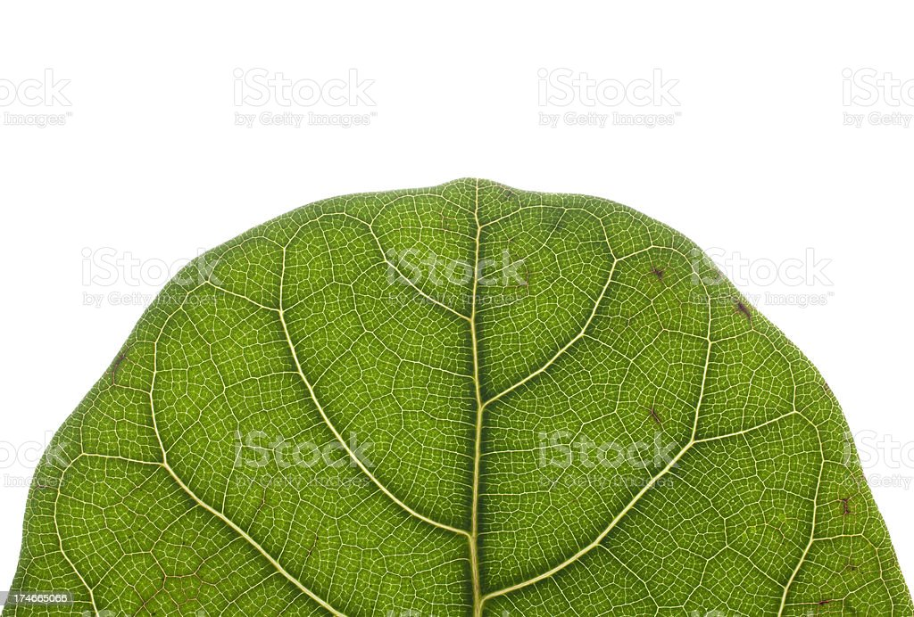 Close-up view of a leaf's rounded top royalty-free stock photo