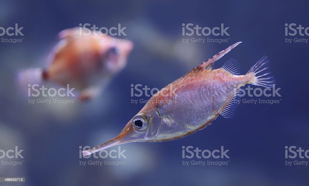 Close-up view of a Longspine snipefish stock photo