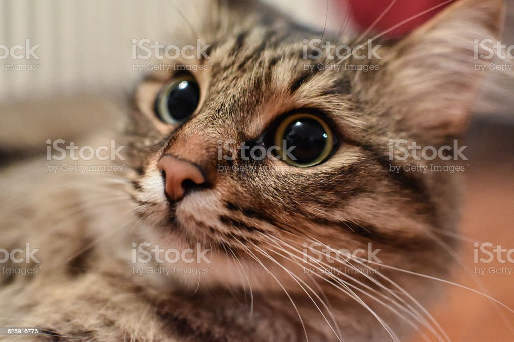 Closeup view of a male cat with large pupils stock photo