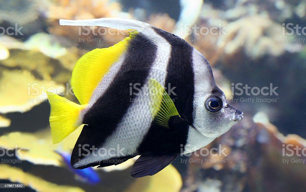 Close-up view of a Pennant coralfish stock photo
