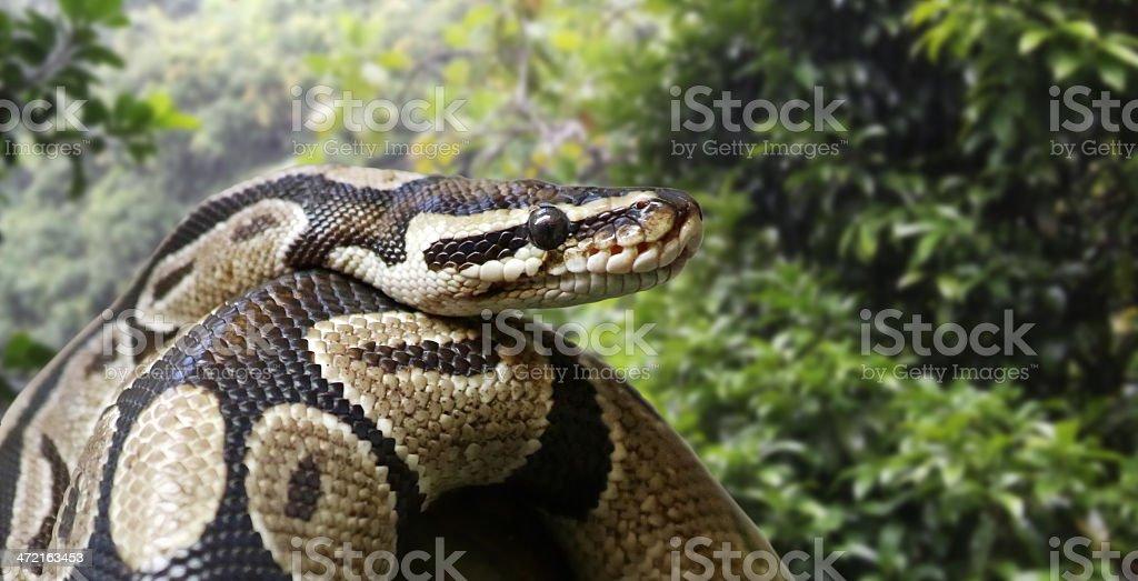 Close-up view of a royal python stock photo