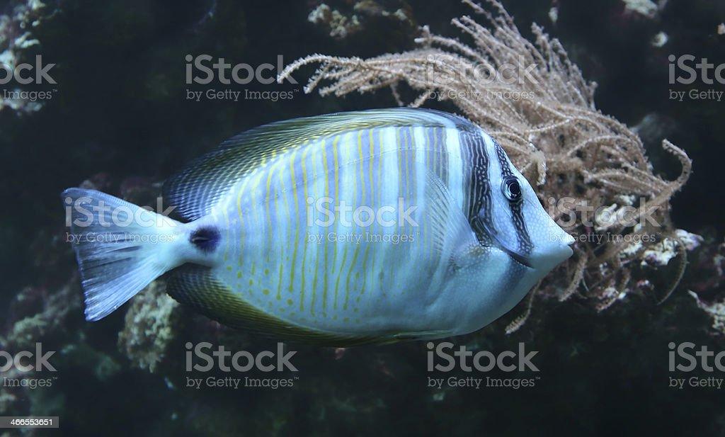 Close-up view of a Sailfin tang stock photo