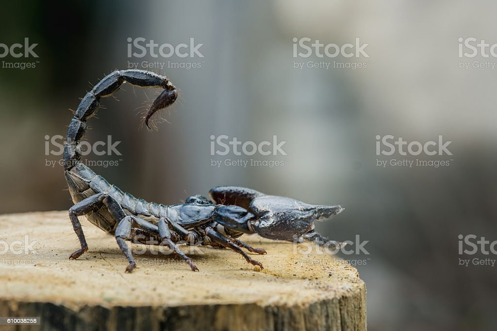 Closeup view of a scorpion on wood stock photo