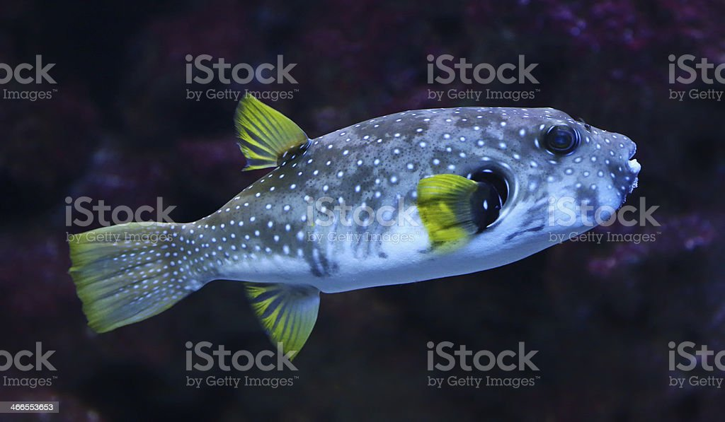Close-up view of a White-spotted puffer stock photo