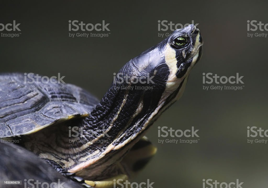 Close-up view of a Yellow-bellied slider royalty-free stock photo