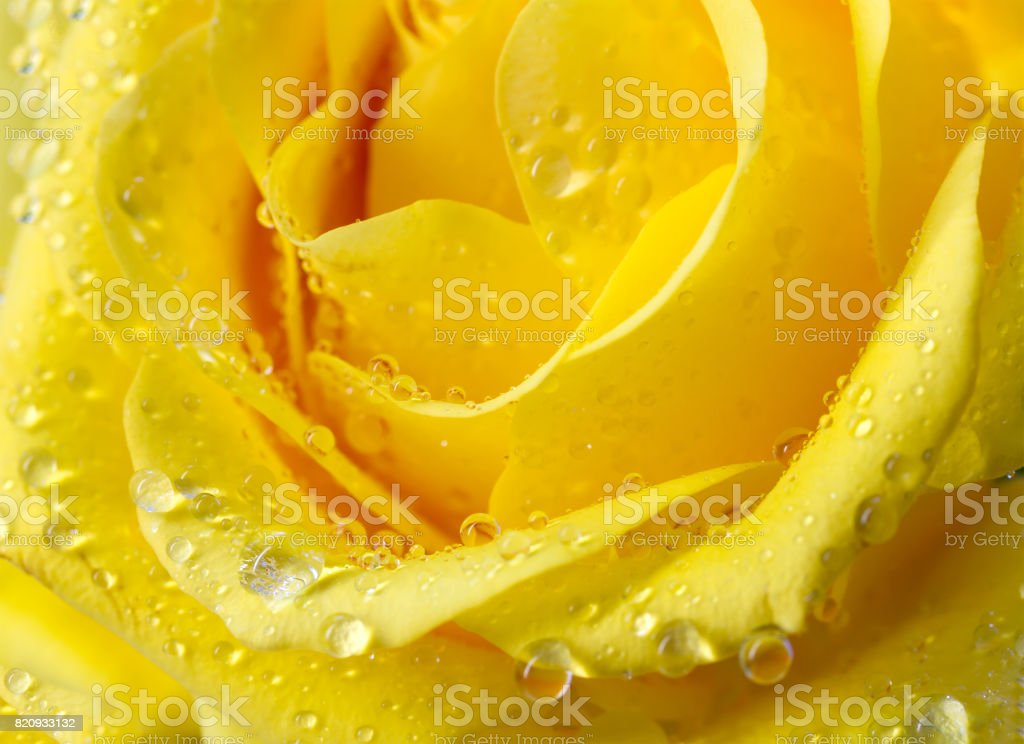 Close-up view of beatiful yellow rose with water drops stock photo