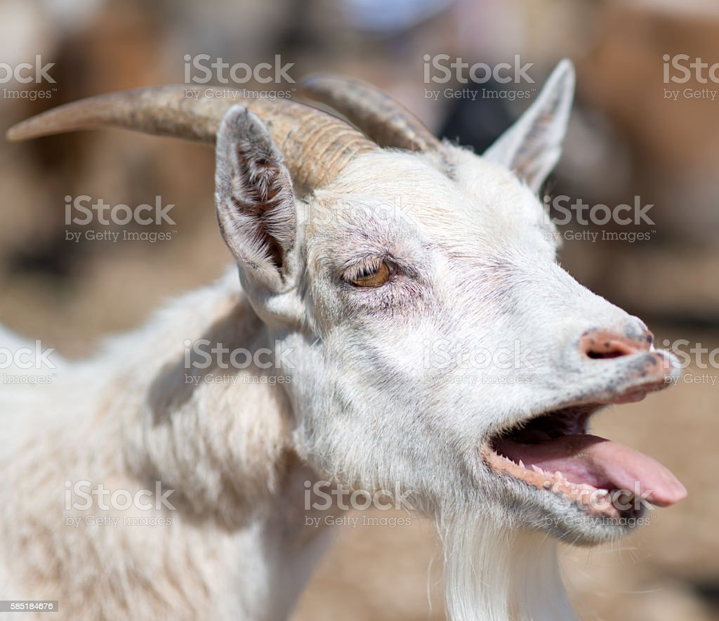 Close-up view of bleating goat. stock photo